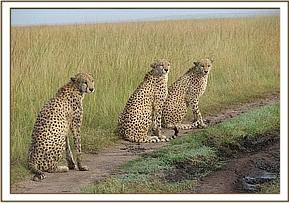 The three cheetahs viewed the following day