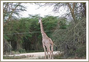 The giraffe after the snare is removed