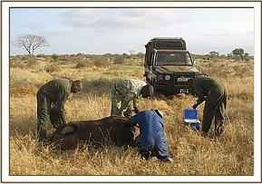 Taking a sample from a buffalo