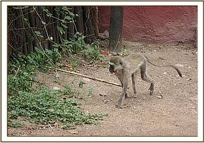 The injured vervet monkey