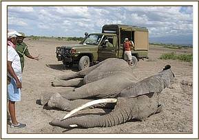 The immobilised elephant after it is darted