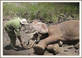 The immobilised elephant