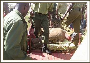 The young calf in the back of the pickup to be transported to the Voi stockades