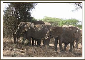 The female elephant with part of her herd
