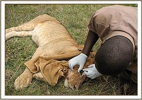 The vet examines the lioness's wounds