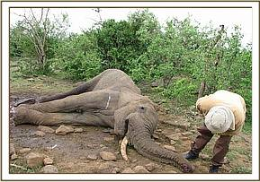 Another sad day as an elephant carcass is found