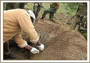 This elephant died from a spear wound