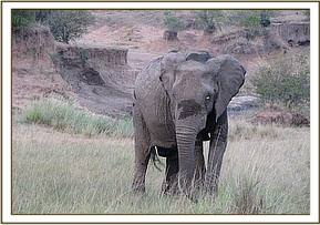 The female elephant happily on her way
