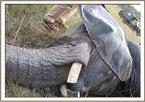 The tusks after they were trimmed