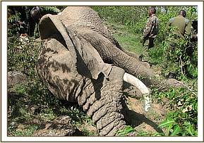 Another elephant has been speared