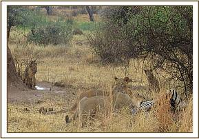 The lioness's feeding on the Zebra kill