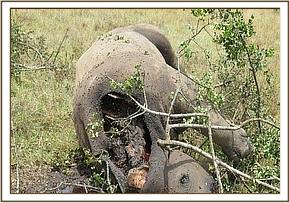 The postmortem reveals a bullet wound and the horns have been removed by poachers