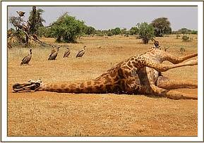 The report was made by tourists of a dead giraffe carcass near Aruba Lodge
