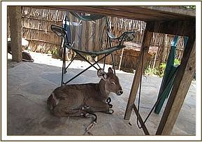 The orphaned waterbuck