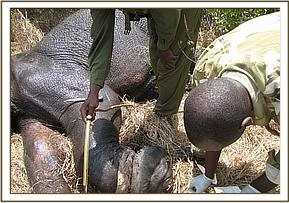 The snare wound on the young elephant