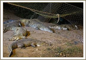 Setting a capture net above the crocodiles