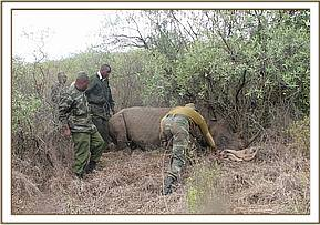 An immobilized rhino