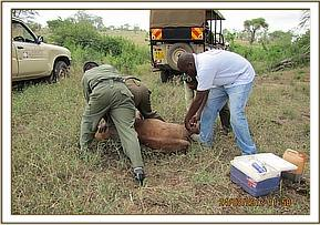 The calf is captured