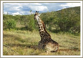 Giraffe found alone and lying down