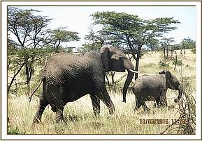 Elephant Cow and her calf