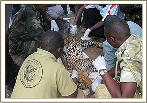 treatment of the leopard