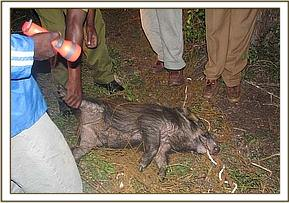 treatment of the wild pigs