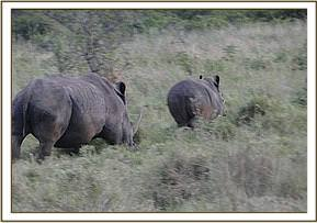 The Rhino previously spotted with calf