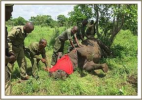 Making sure the Rhino is safely immobilized