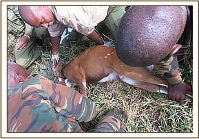 Drawing blood samples from bush bucks