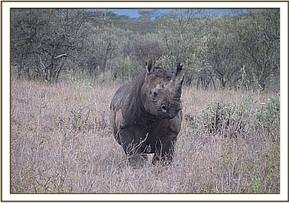 One of the ear notched rhinos