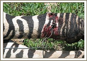 The  snare cutting into the zebra's right hind limb