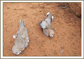 Dead laughing doves