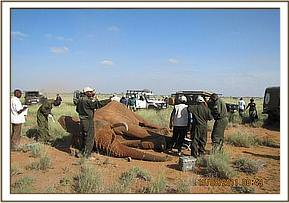 Collaring an elephant
