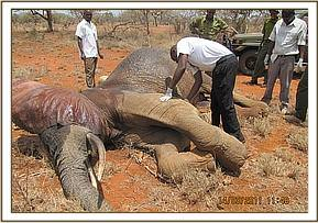 Examining the immobilized elephant
