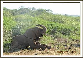 The elephant awake after treatment