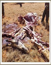 A giraffe killed for bushmeat