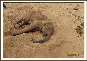 The elephant was found recumbent in a dry river bed