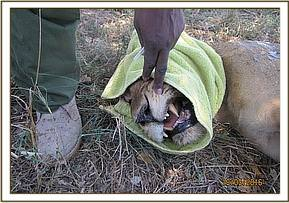 This fully grown lioness requires treatment