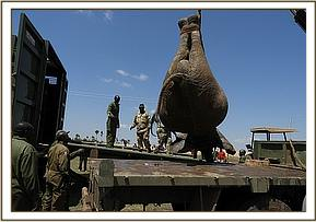 a lorry fitted with a lifting crane loads an elephant