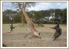 Having had the snare removed the giraffe is helped back to her feet