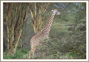 The first snared giraffe is darted