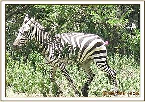 The zebra is darted for treatment