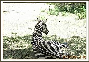 The zebra comes round following treatment