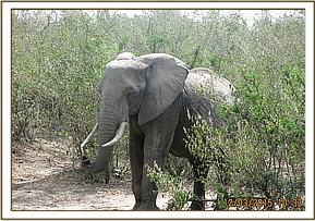 Elephant is seen with injuries to both legs