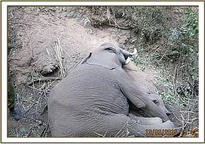 This young elephant appears to have fallen down a cliff