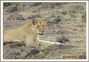This lioness was gored by a buffalo