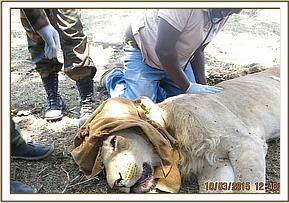 The lion is darted for treatment