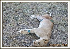 The lioness after treatment