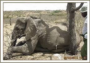 An elephant with a spear wound