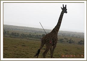 A giraffe is spotted with a spear protruding